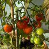 Så er tomathøsten startet