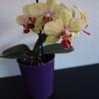 Endelig fik jeg en orkidé til at blomstre igen