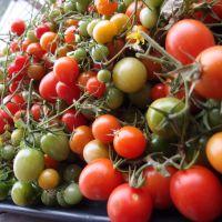 Den sidste høst af tomater