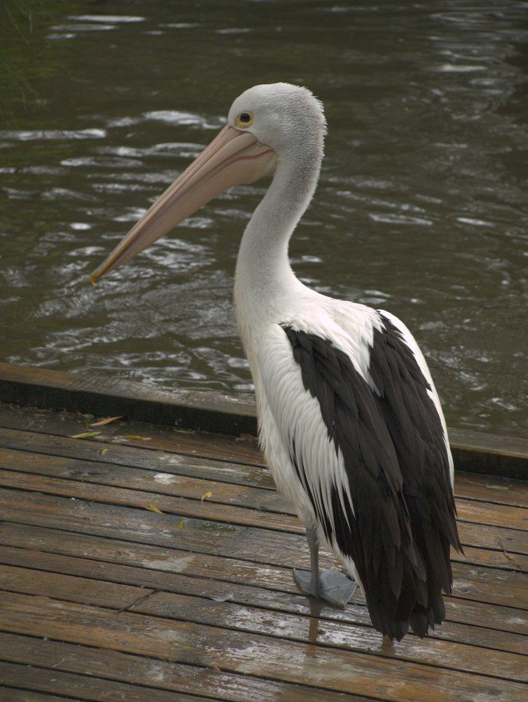 En pelikan i Healesville Sanctuary.