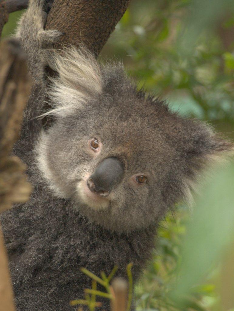 En sød koala i Healesville Sanctuary.