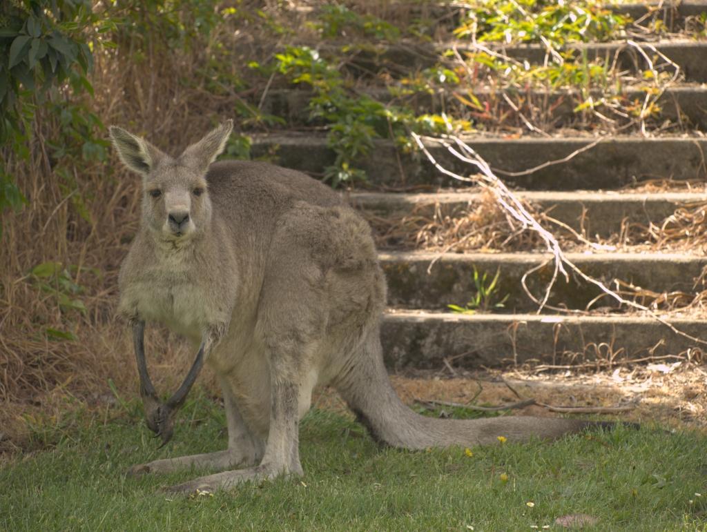 En grå kænguruhun med unge i pungen.