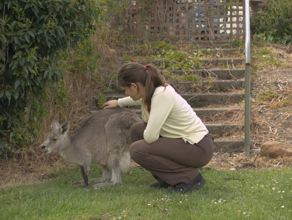 Jeg klapper en grå kænguru ude i det fri.