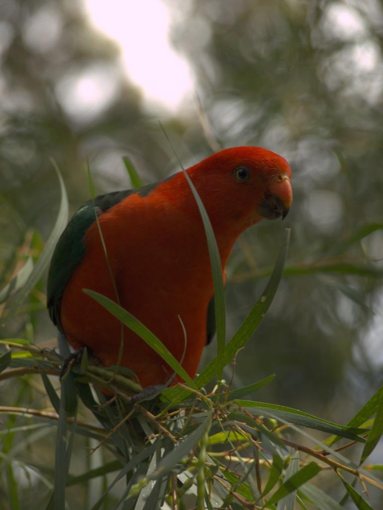 En fin papegøje, som vi døbte til at hedde Henry.