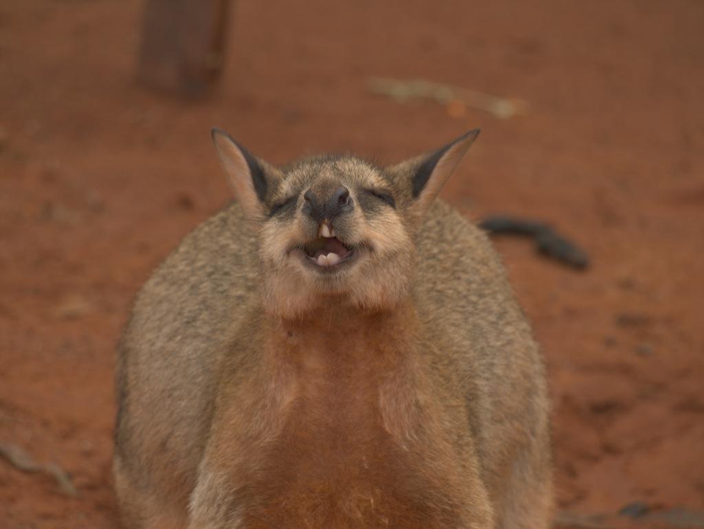 En wallaby der nyder et stykke frugt, men det ser ud som om den morer sig gevaldigt.