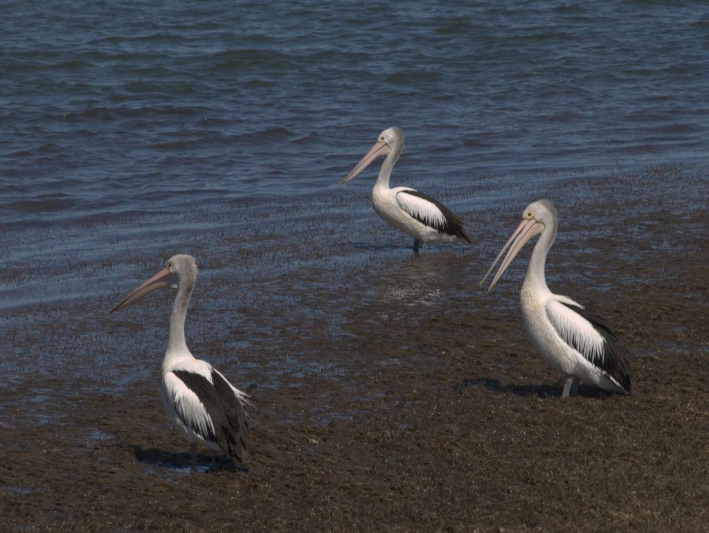 3 frække pelikaner i Batemans Bay.