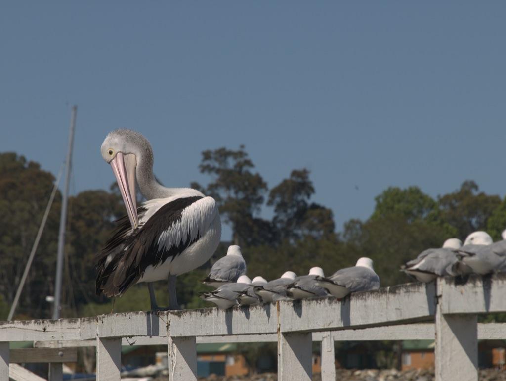 Mon pelikanen tror den er en måge, i hvert fald virker det ikke som om den passer helt ind; utroligt den ikke falder ned.