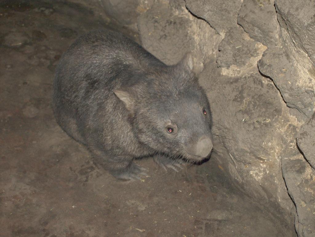 Wombat, Melbourne, Australien.