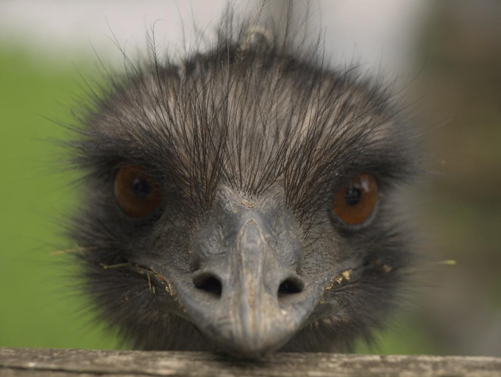 Emu; de har deres øjeblikke.