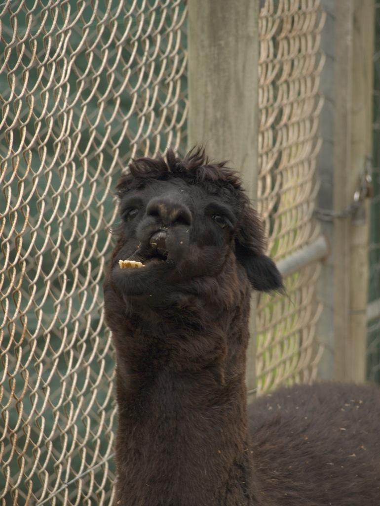 En Alpaca (nej de ligner da slet ikke lamaer hehe), der gaber.
