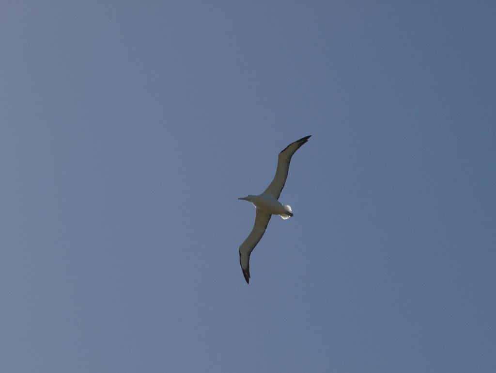 Albatros ved Dunedin, New Zealand.