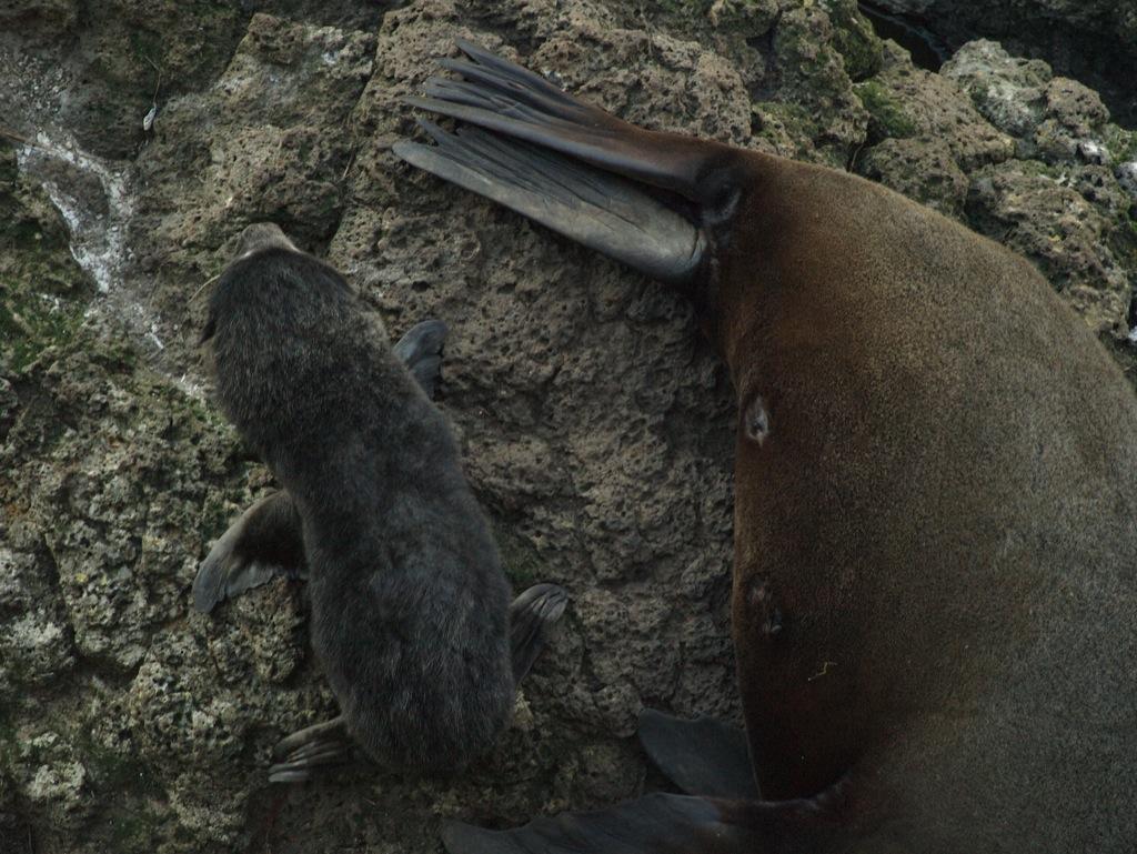 NZ-fur seal med unge.
