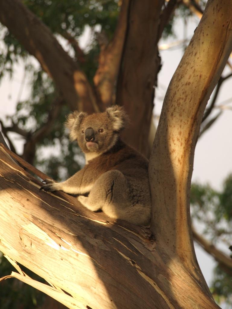 Koala ved Bimbi Park.
