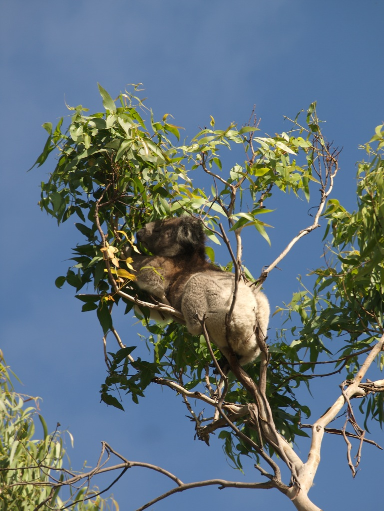 Koalaen Fedesen.