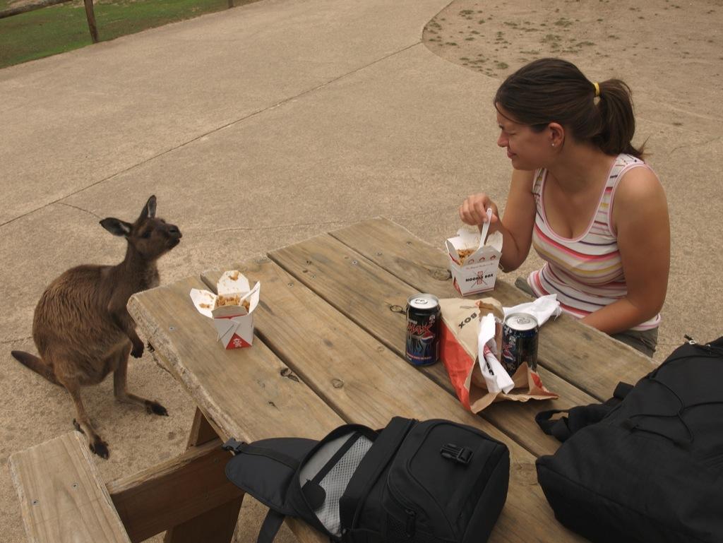 Tiggende kænguru.