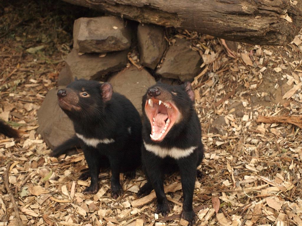 Arrige tasmanske djælve.