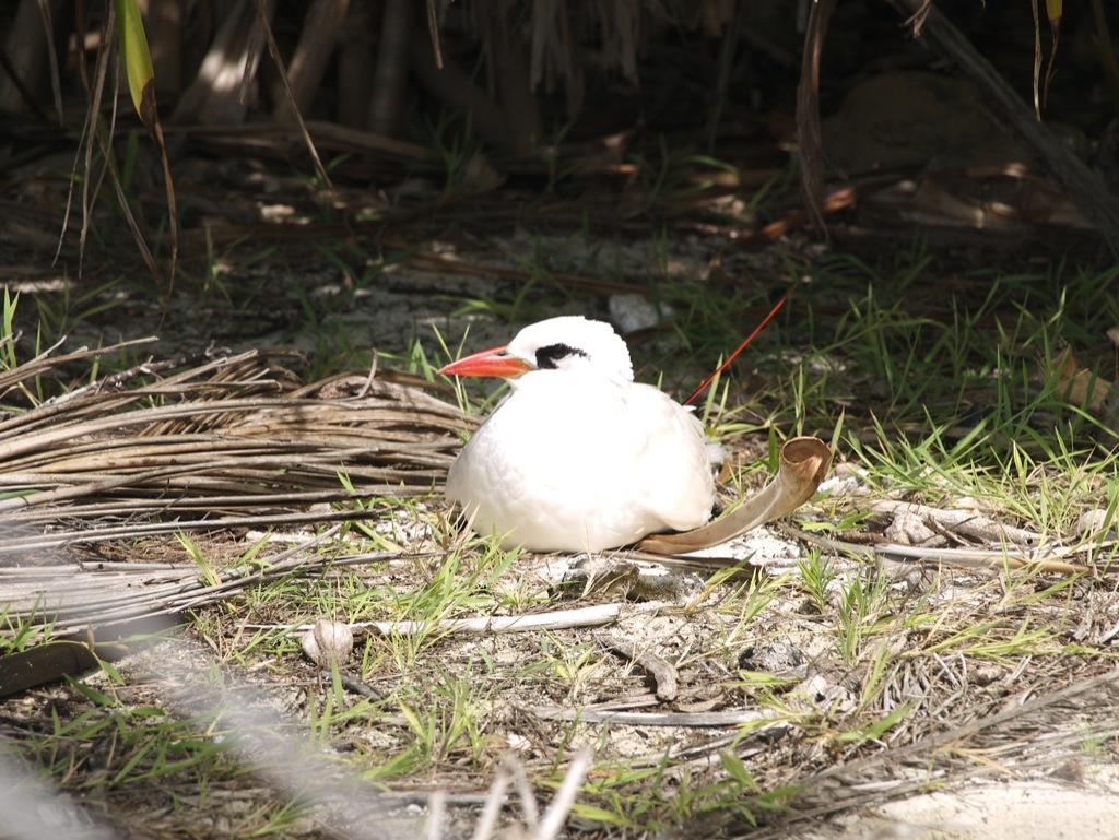 En af fuglene på Honeymoon Island, hvor der er et fuglereservat; en slags måge med en sjov lang, rød hale.