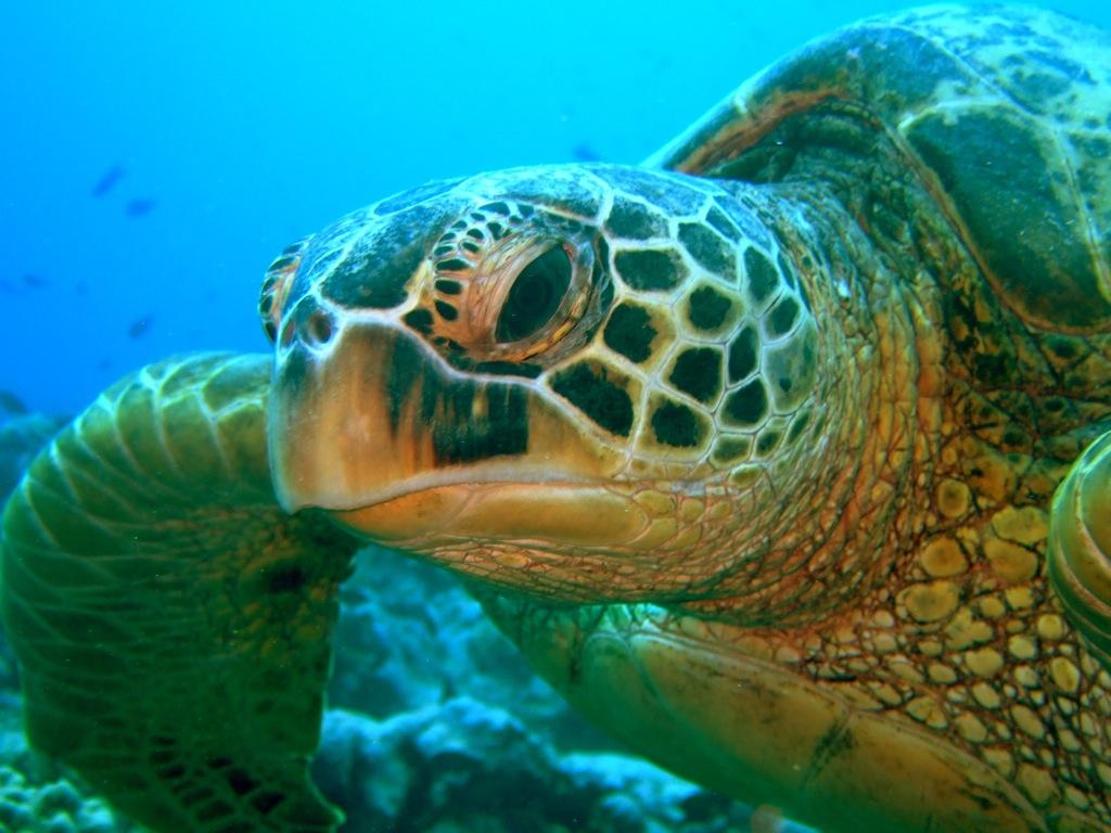 En green turtle, en havskildpadde.