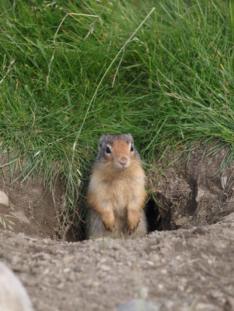 Columbian Ground Squirrel, Canadian Rockies.