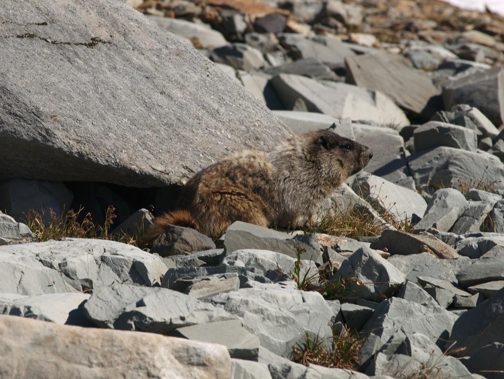 En Hoary Marmot som lovet ;)