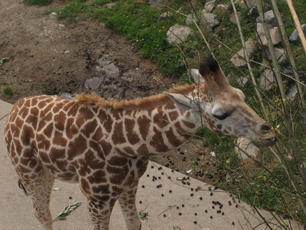En giraf, som den plejer at se ud.