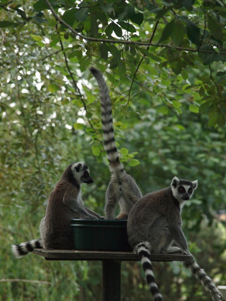Lemurer ved spisetid - bare der ikke kommer hår i maden!
