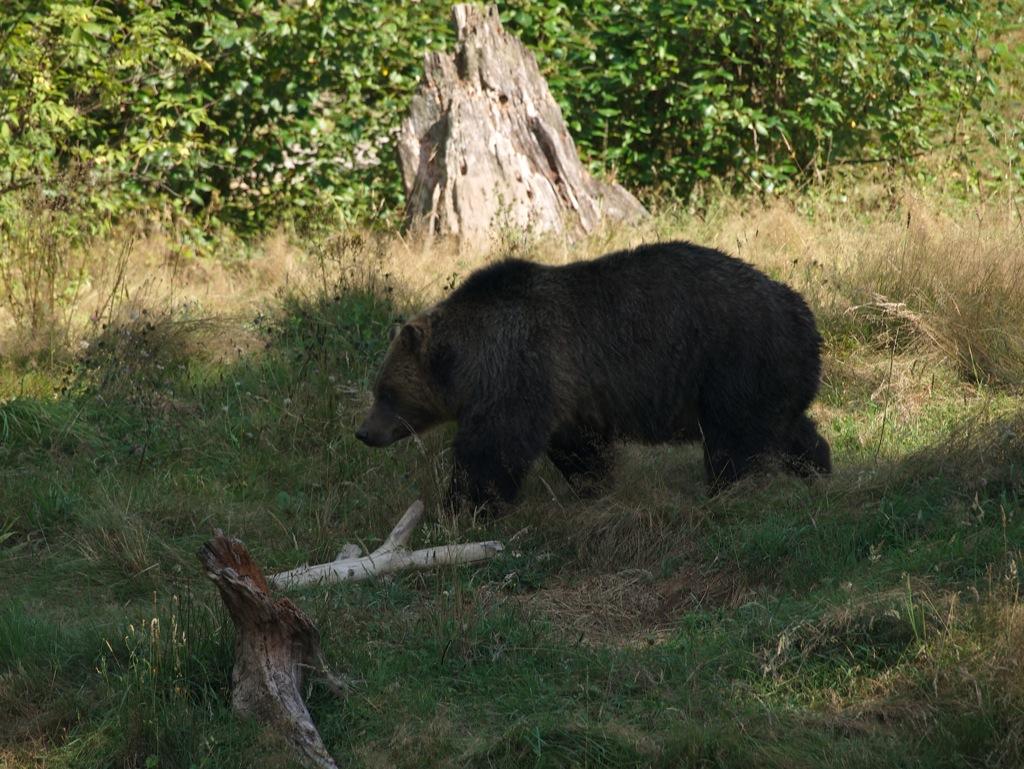 Grizzlybjørn.