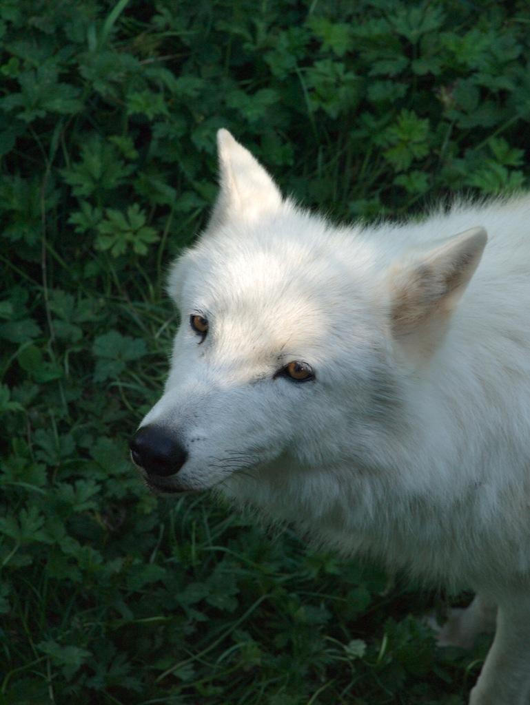 Arktisk ulv.