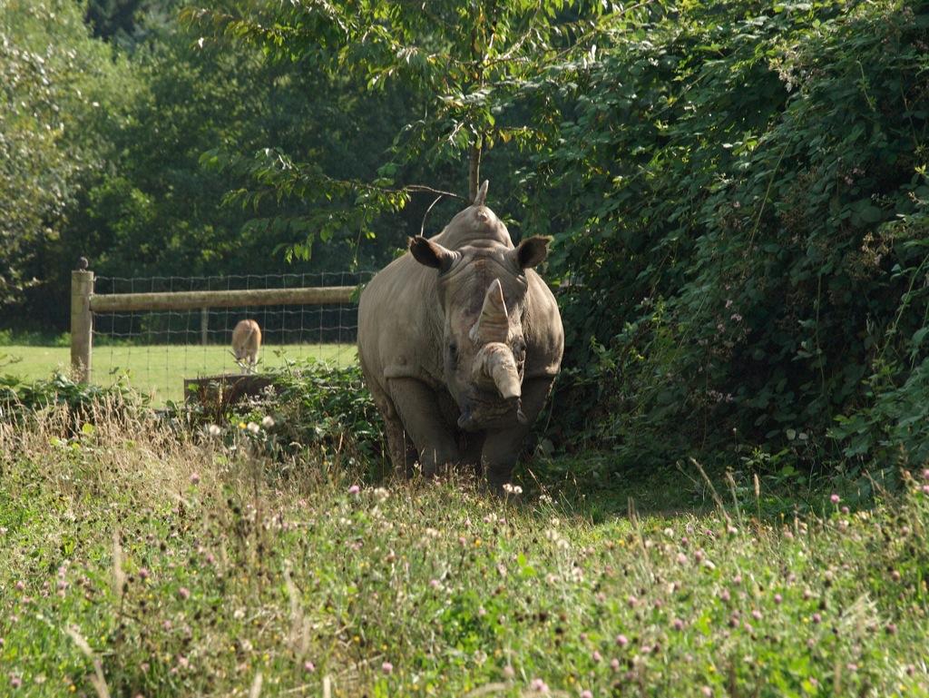 En ensomt næsehorn med et meget langt horn.
