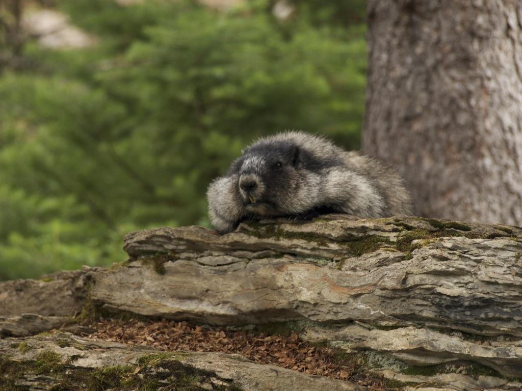 En Hoary Marmot, der dovner den.