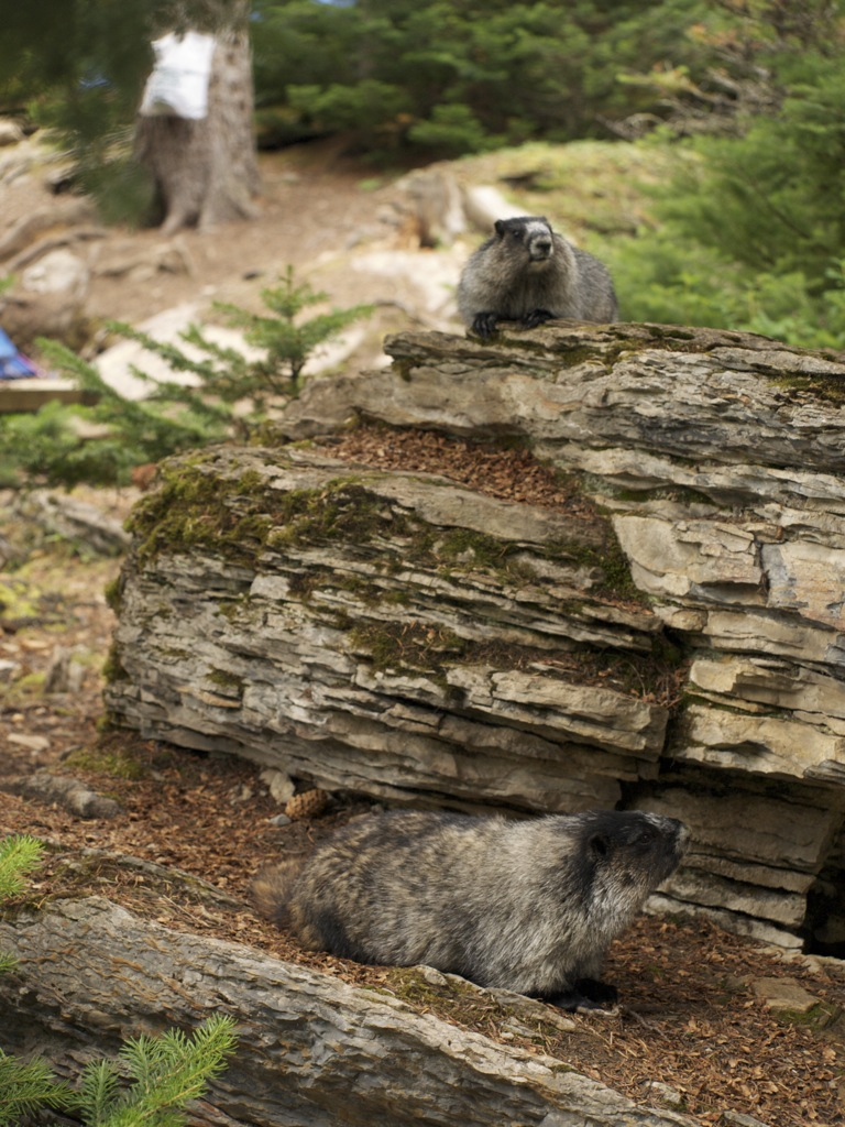 Et marmotpar, der bor tæt på vores telt.