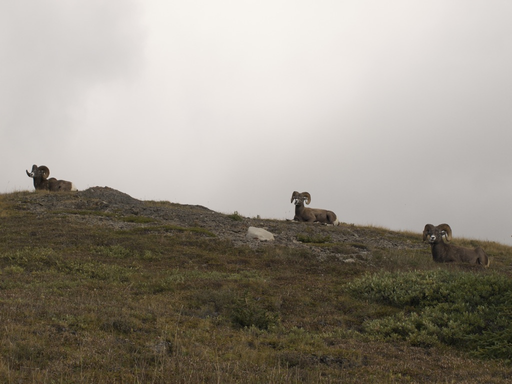 Flere bighorn sheep, som ej skal forveksles med geder.
