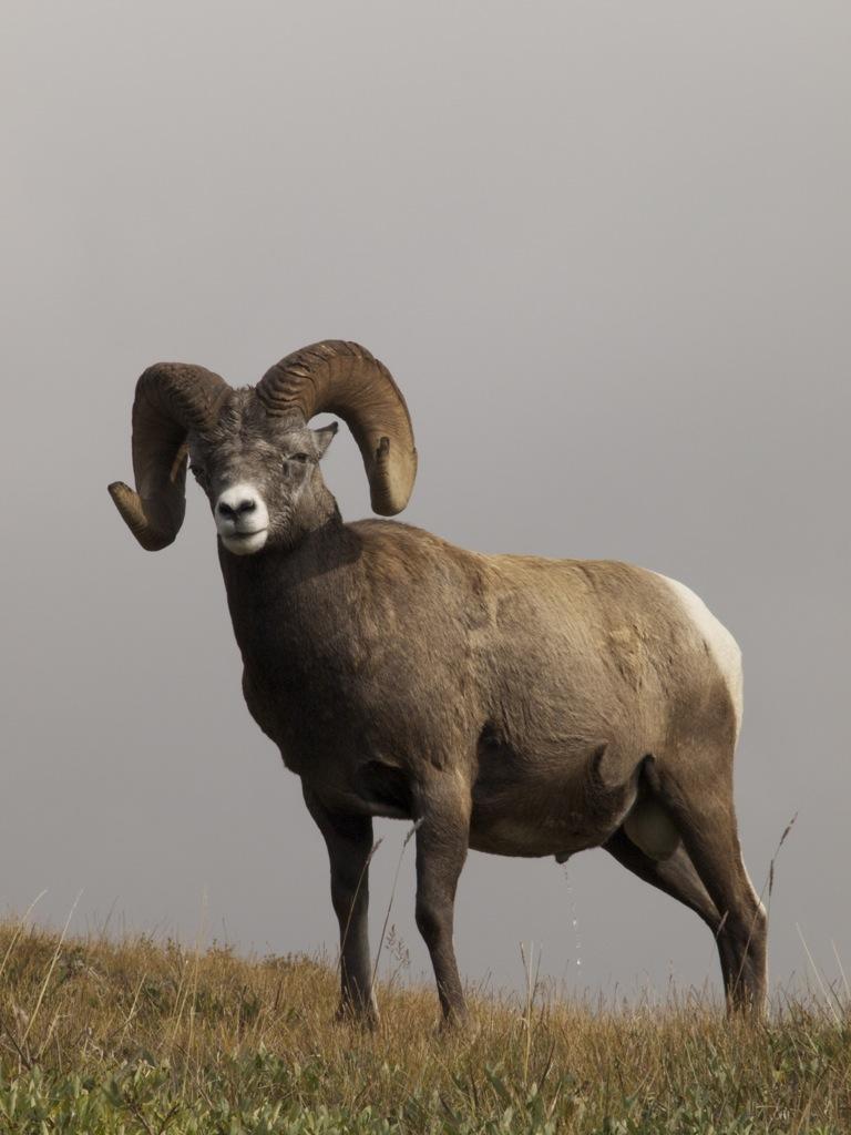 En bighorn sheep - storhornsfår.
