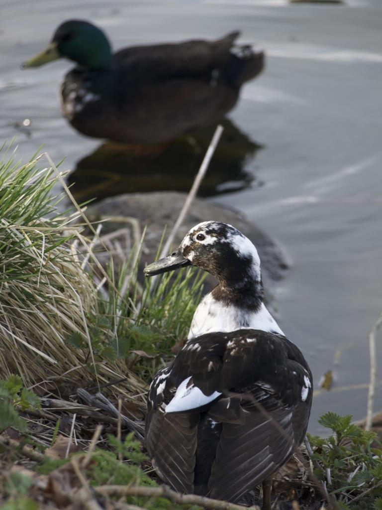 Et par tossede ænder ved Slotsøen.