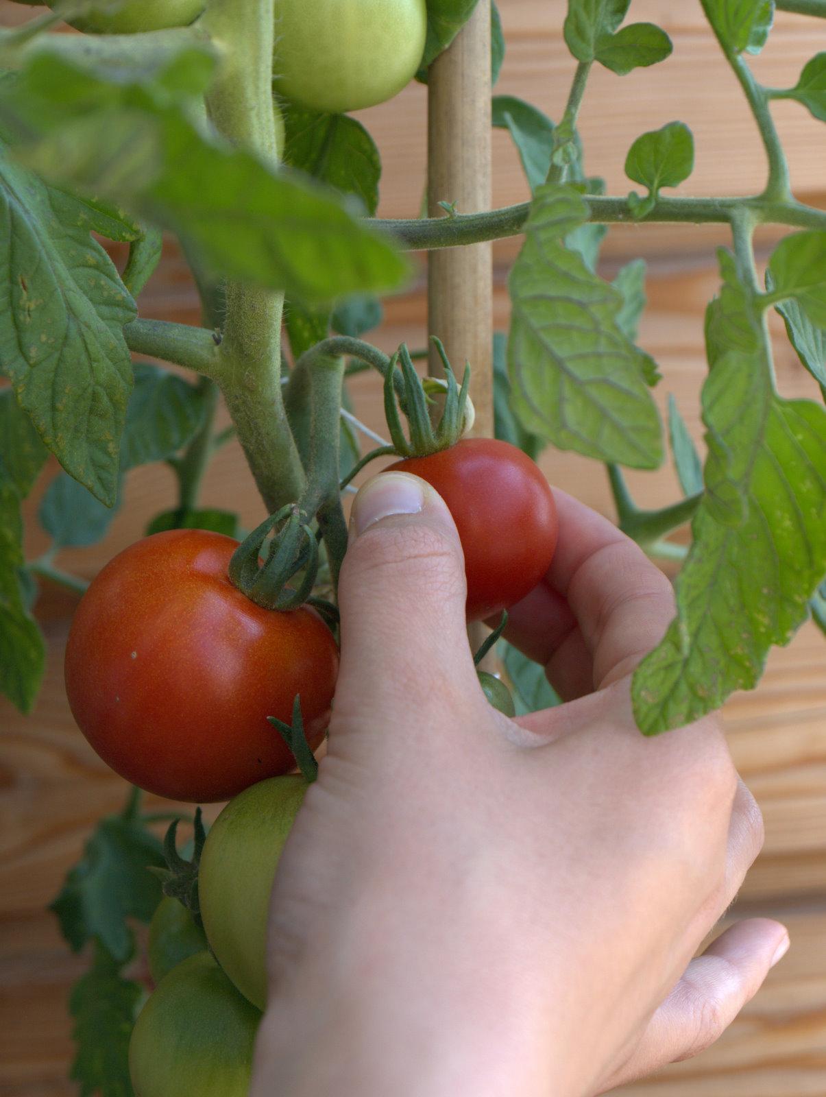 Haps, årets første, og i al almindelighed vores første selvdyrkede tomat.