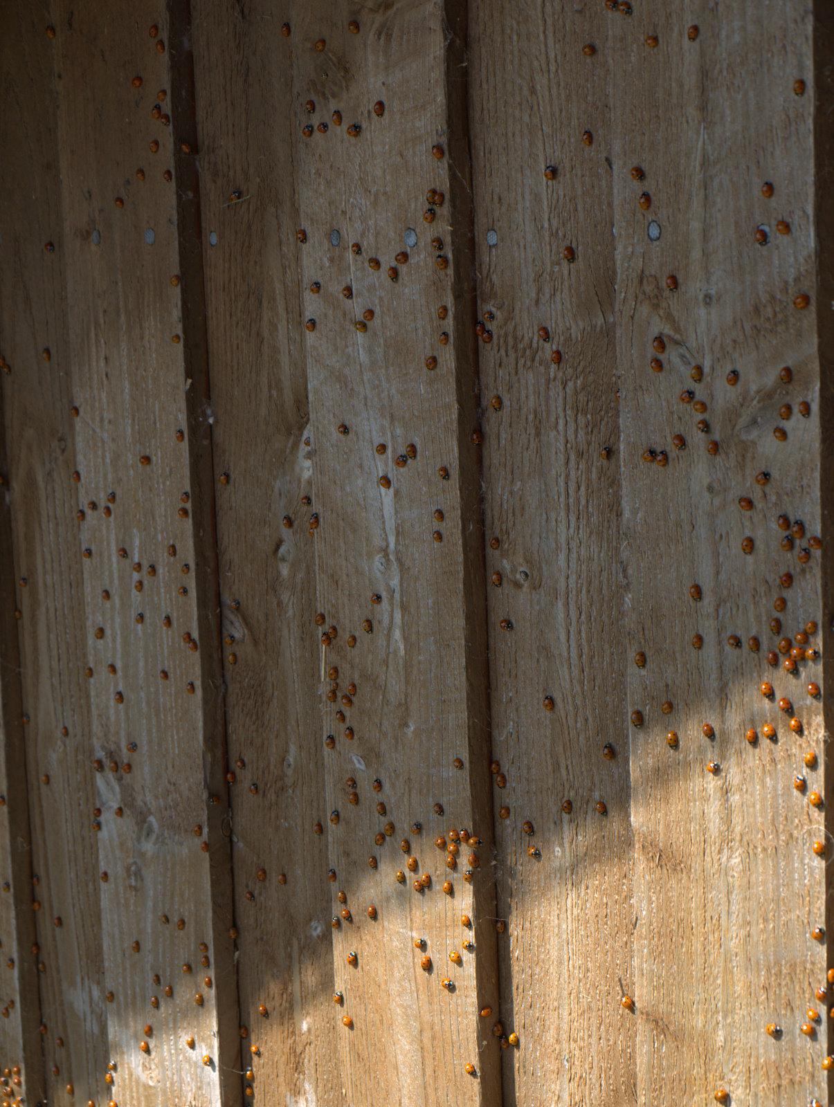 Mariehøns i massevis - dette er blot en lille brøkdel af dem, der var ved Bygholm Vejle.