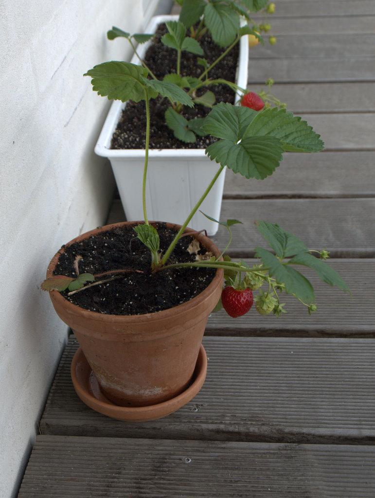 Vores jordbærplanter i Da Vinciparken.