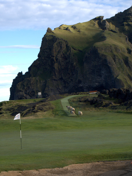 Får på golfbanen på Heimaey.