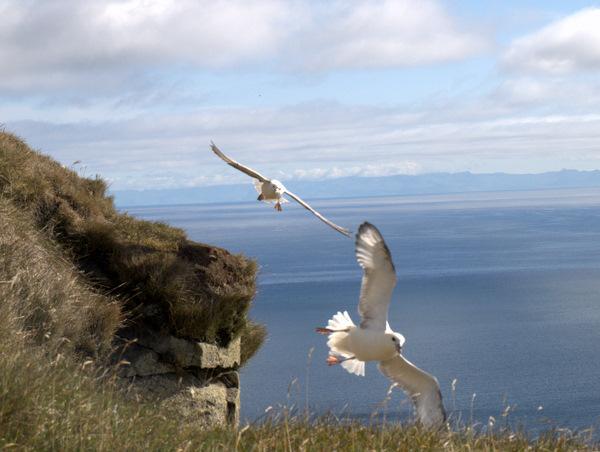 Måger, der øver sig i at flyve