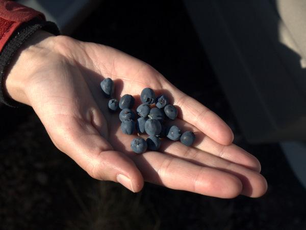 Multebær, men der var også en masse blåbær, som vi senere fyldte os i