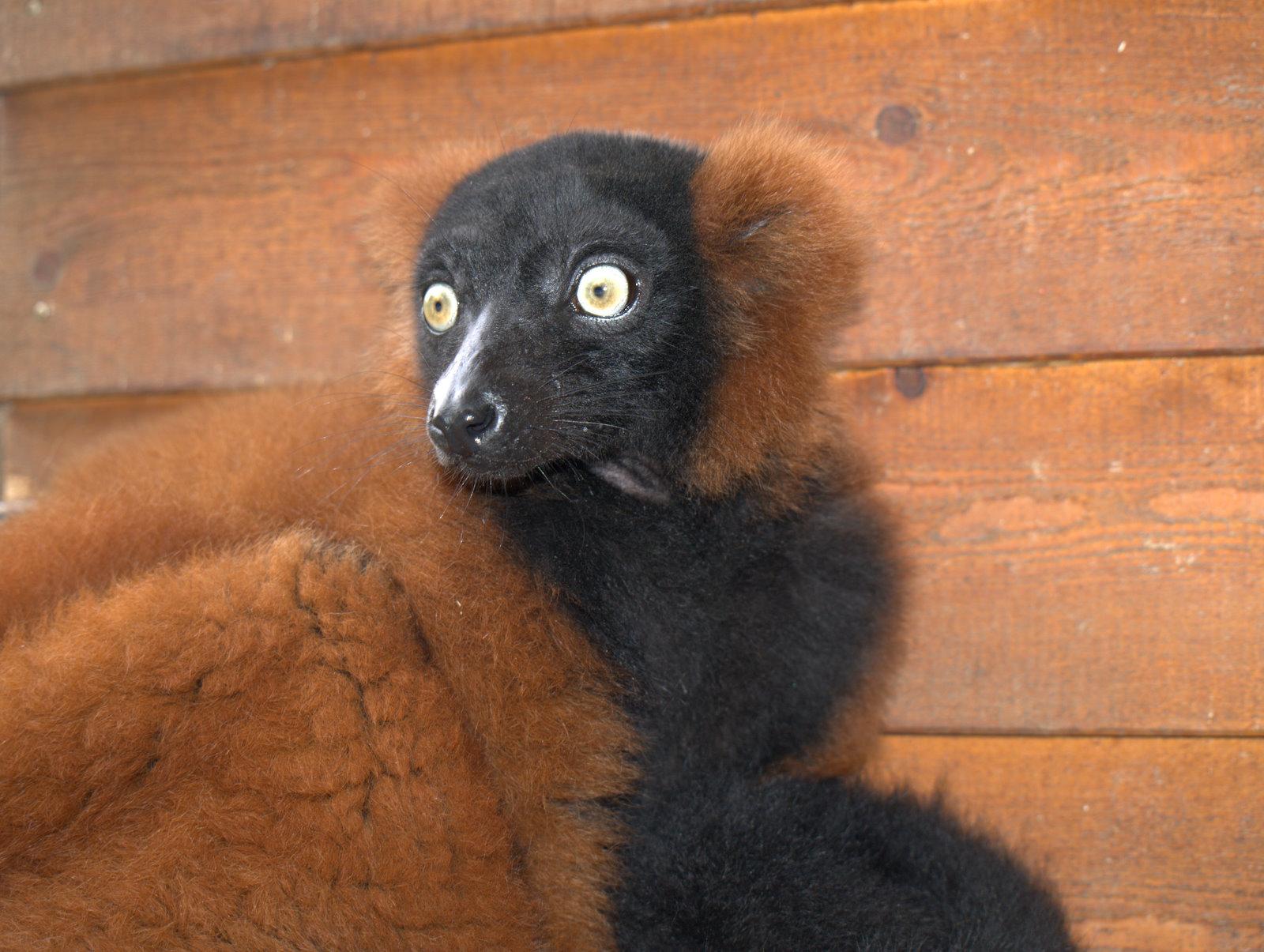 Red ruffed lemur - den ser helt skræmt ud