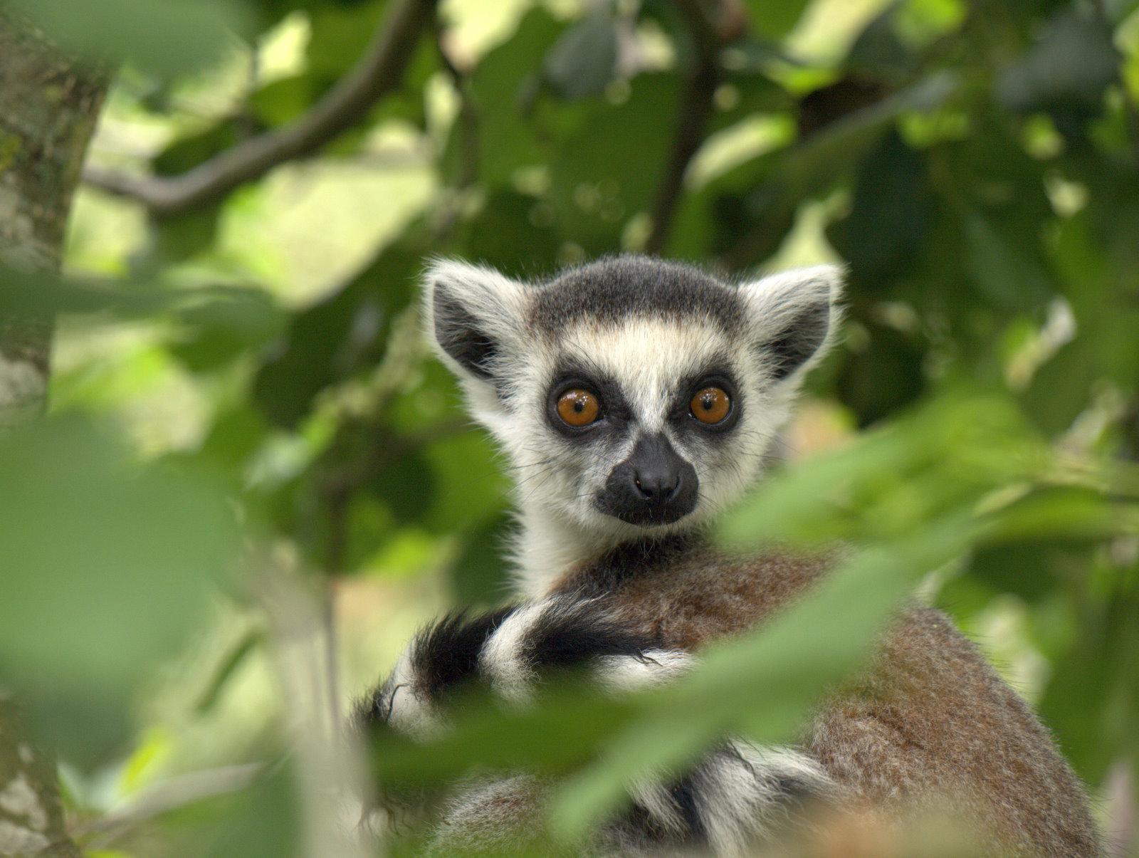 En lille opmærksom lemurunge