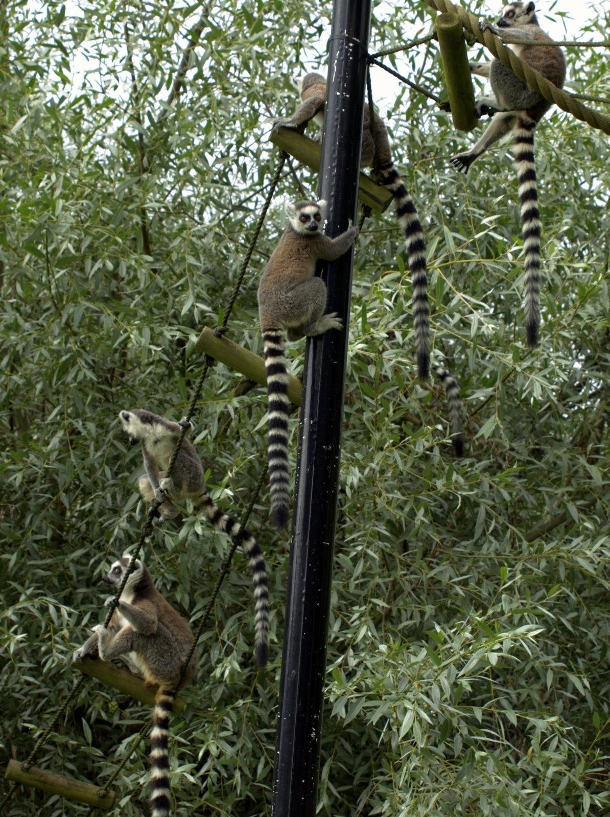 1-2-mange lemurer