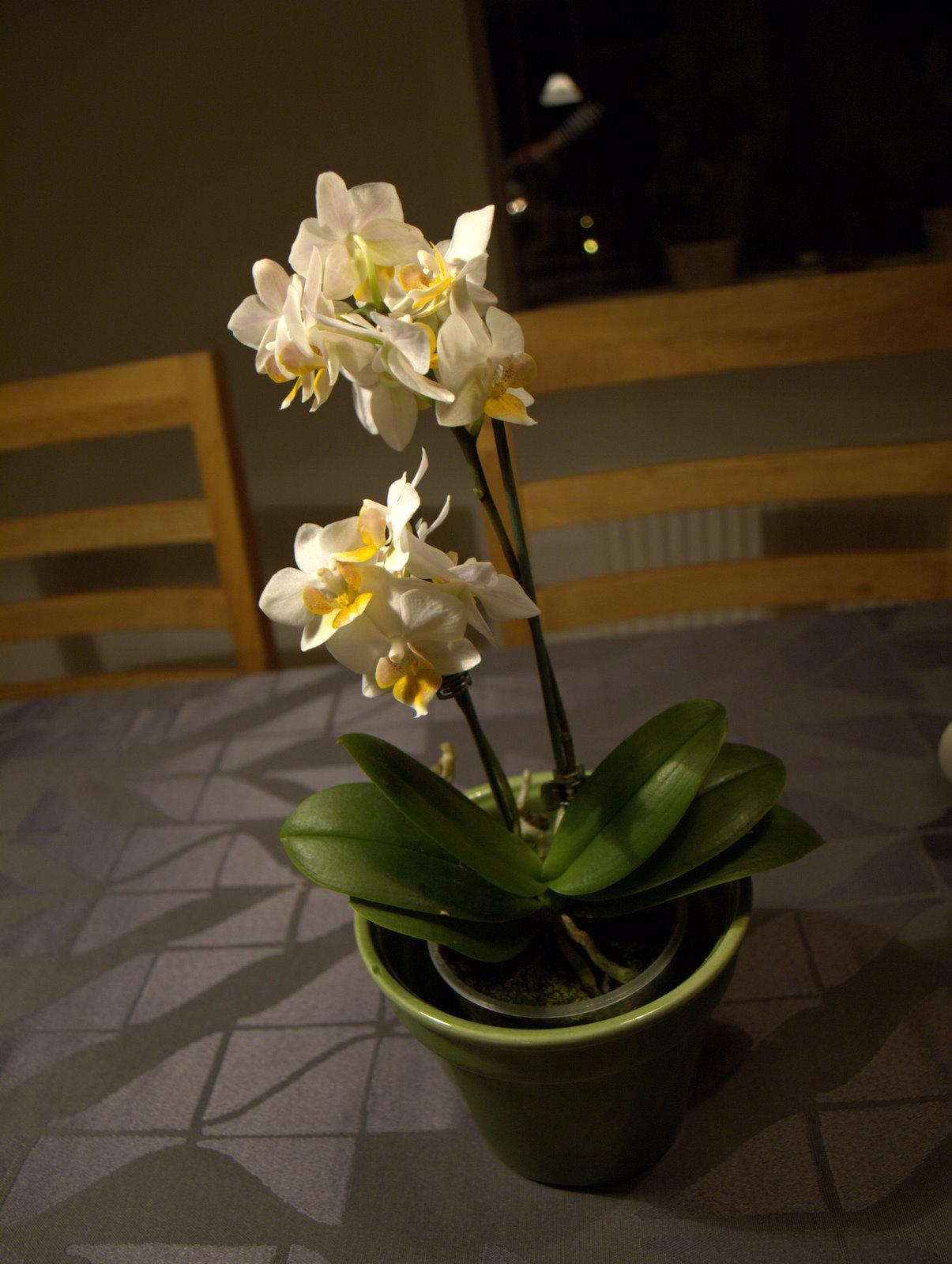 Orkidé fra min mor