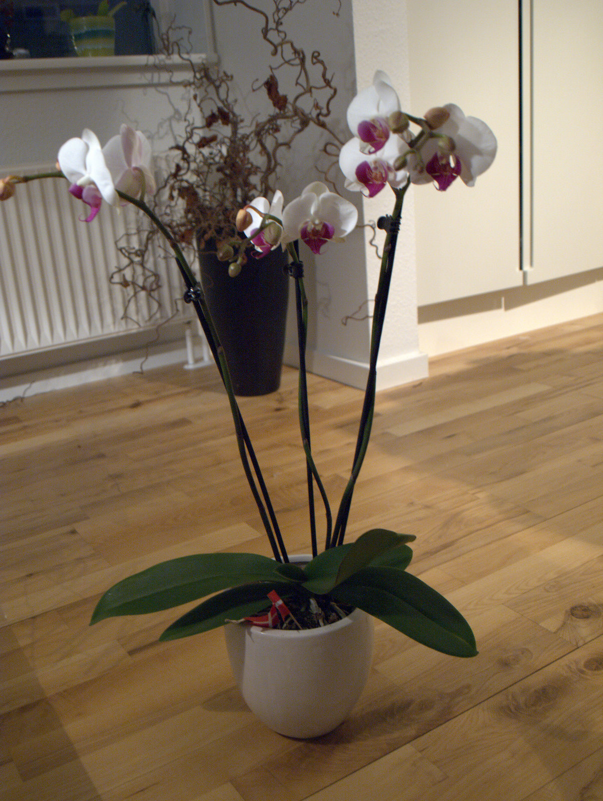 Stor orkidé